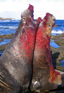 Bloody fight between two adult elephant seal males