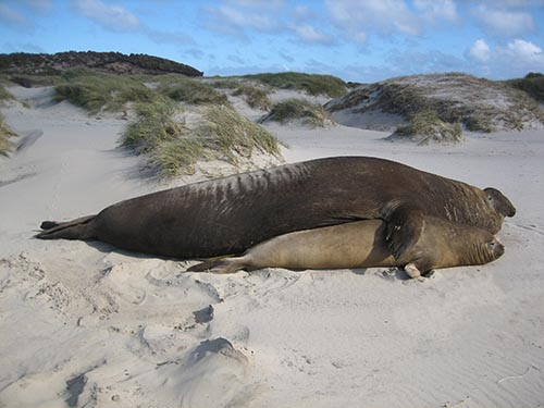 Sexual dimorphism (southern elephant seal)
